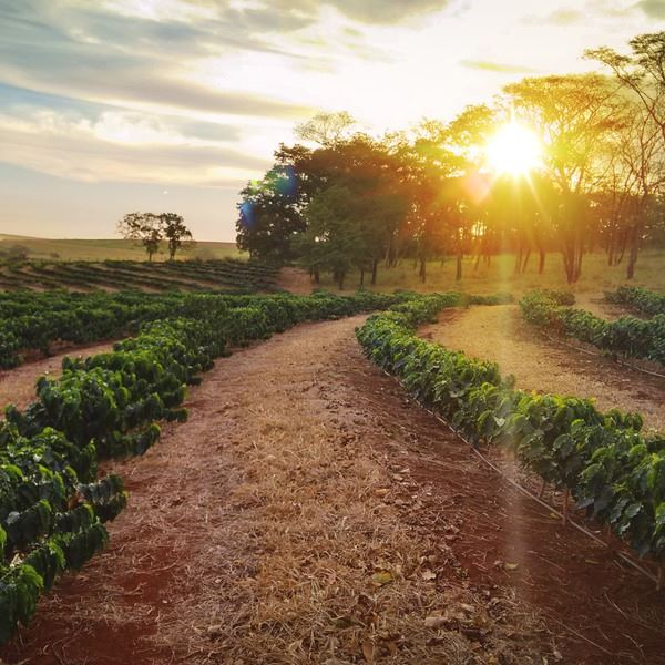 January 18, Brazil  - Sundown on the coffee plantation landscape